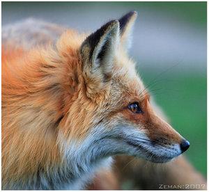 ayla_fox.jpg