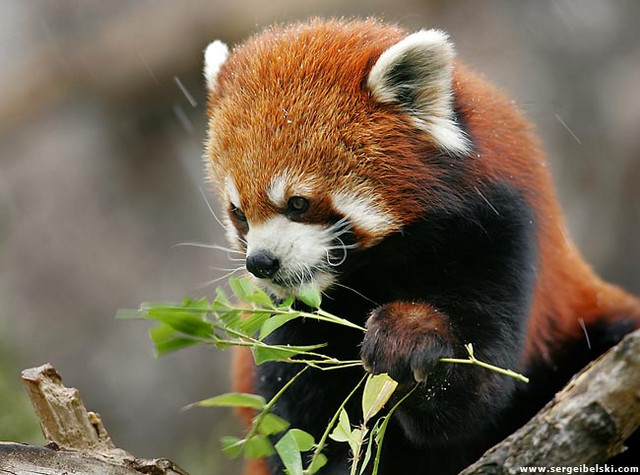 Red Panda Face Painting