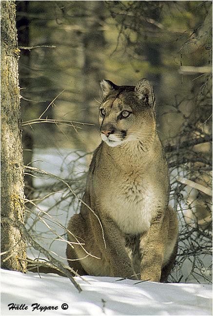 leon_cougar.jpg
